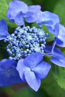 アジサイの花 11076016635| 写真素材・ストックフォト・画像・イラスト素材|アマナイメージズ