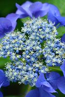 アジサイの花 11076016636| 写真素材・ストックフォト・画像・イラスト素材|アマナイメージズ