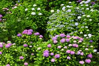 アジサイの花 11076016637| 写真素材・ストックフォト・画像・イラスト素材|アマナイメージズ