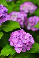 アジサイの花 11076016639| 写真素材・ストックフォト・画像・イラスト素材|アマナイメージズ