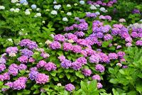 アジサイの花 11076016641| 写真素材・ストックフォト・画像・イラスト素材|アマナイメージズ