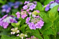 アジサイの花 11076016642| 写真素材・ストックフォト・画像・イラスト素材|アマナイメージズ