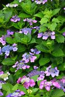 アジサイの花 11076016643| 写真素材・ストックフォト・画像・イラスト素材|アマナイメージズ