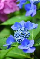 アジサイの花 11076016644| 写真素材・ストックフォト・画像・イラスト素材|アマナイメージズ