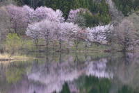中綱湖のサクラ 11076016698| 写真素材・ストックフォト・画像・イラスト素材|アマナイメージズ
