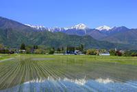 安曇野の水田と残雪の北アルプス・常念岳