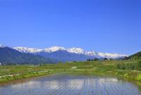 安曇野の水田と北アルプス(爺ヶ岳・鹿島槍ヶ岳・五竜岳)