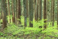 新緑の杉林
