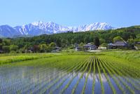 水田と残雪の北アルプス(爺ヶ岳・鹿島槍ヶ岳)