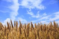 小麦と青空