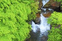 新緑のカエデと渓流