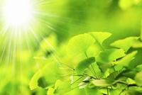 新緑のイチョウと太陽