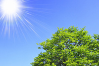 新緑の葉と青空に太陽