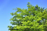 新緑の葉と青空