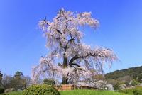 円山公園のシダレザクラ