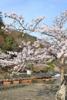 嵐山公園のサクラ 屋形船と桂川