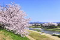 賀茂川とサクラ 11076017152| 写真素材・ストックフォト・画像・イラスト素材|アマナイメージズ