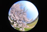 賀茂川堤のサクラと太陽