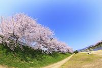 賀茂川堤のサクラと太陽光