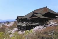 清水寺とサクラ