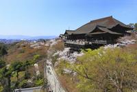 清水寺とサクラ 11076017178| 写真素材・ストックフォト・画像・イラスト素材|アマナイメージズ