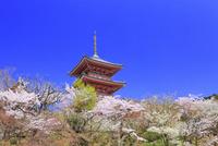 清水寺の三重塔とサクラ