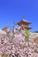 清水寺の三重塔とシダレサクラ