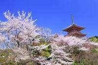 清水寺の三重塔とサクラ 11076017190| 写真素材・ストックフォト・画像・イラスト素材|アマナイメージズ