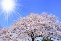 青空に太陽とサクラ