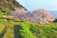 丹後松島のサクラと日本海