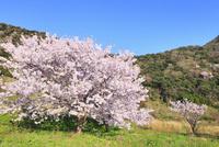 丹後松島のサクラ