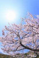 青空に太陽とサクラ 11076017293| 写真素材・ストックフォト・画像・イラスト素材|アマナイメージズ