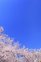 青空とサクラ