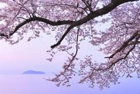 海津大崎のサクラ 朝焼けの琵琶湖と竹生島