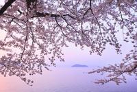 海津大崎のサクラ 朝焼けの琵琶湖と竹生島 11076017354| 写真素材・ストックフォト・画像・イラスト素材|アマナイメージズ