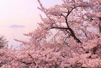 海津大崎のサクラ 朝焼けの琵琶湖と竹生島 11076017370| 写真素材・ストックフォト・画像・イラスト素材|アマナイメージズ