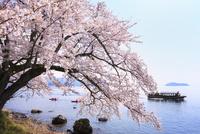 海津大崎のサクラ お花見船行く琵琶湖と竹生島