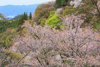 吉野山・上千本のサクラ 11076017388| 写真素材・ストックフォト・画像・イラスト素材|アマナイメージズ