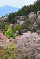 吉野山・上千本のサクラ