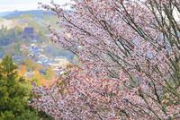 吉野山・上千本のサクラと蔵王堂 11076017391| 写真素材・ストックフォト・画像・イラスト素材|アマナイメージズ