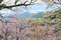 吉野山・上千本のサクラ 11076017392| 写真素材・ストックフォト・画像・イラスト素材|アマナイメージズ