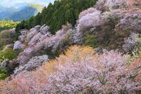 吉野山・上千本のサクラ 11076017393| 写真素材・ストックフォト・画像・イラスト素材|アマナイメージズ