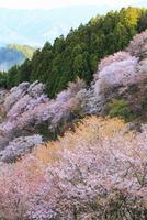 吉野山・上千本のサクラ 11076017395| 写真素材・ストックフォト・画像・イラスト素材|アマナイメージズ