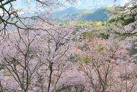 吉野山・上千本のサクラ 11076017396| 写真素材・ストックフォト・画像・イラスト素材|アマナイメージズ