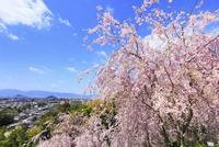 大美和の杜展望台のシダレザクラと大和三山