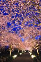 シダレザクラ並木のライトアップ夜景