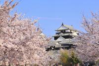 松山城・天守閣とサクラ