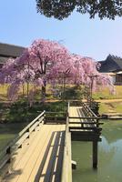 後楽園のシダレザクラ 栄唱橋と花葉の池