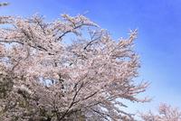 津山城・鶴山公園のサクラ 11076017728| 写真素材・ストックフォト・画像・イラスト素材|アマナイメージズ