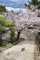 千光寺のサクラ 文学の小道と猫